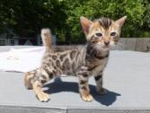 Stunning Champion Sired Pedigree Bengal Kittens