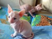 Fantastic Adorable Hairless Donskoy Sphynx kittens