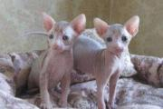 Registered pretty well trained cute Male and female Sphynx kittens for a home