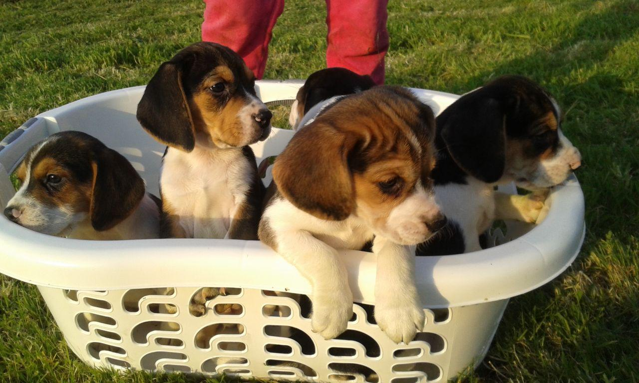 Top Quality Miniature Beagle Puppies Ready Now Cape Town