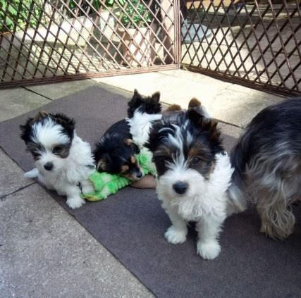Absolutely Healthy Biewer Terriers Puppies Secunda Public Ads