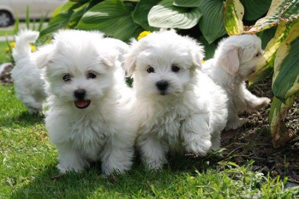 Absolutely stunning Teacup Maltese Puppies | Cape Town