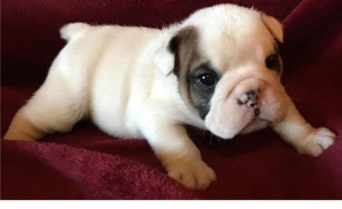 3 Female English bulldogs puppies available