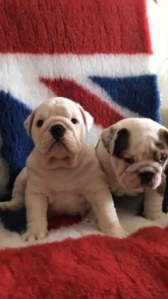​We are selling out Male ans Female Beautiful English Bull Dog