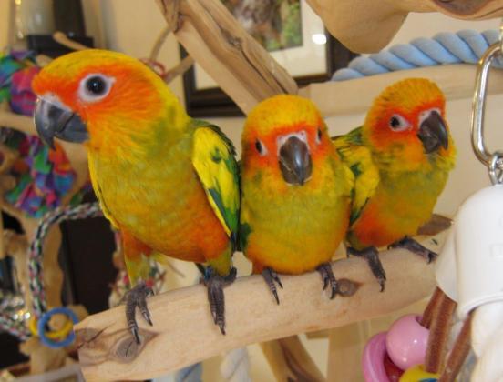 Adorable hand raised parrots and fertilize eggs for sale