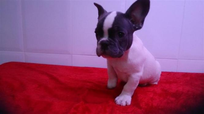 Affectionate Playful French bulldog Puppies