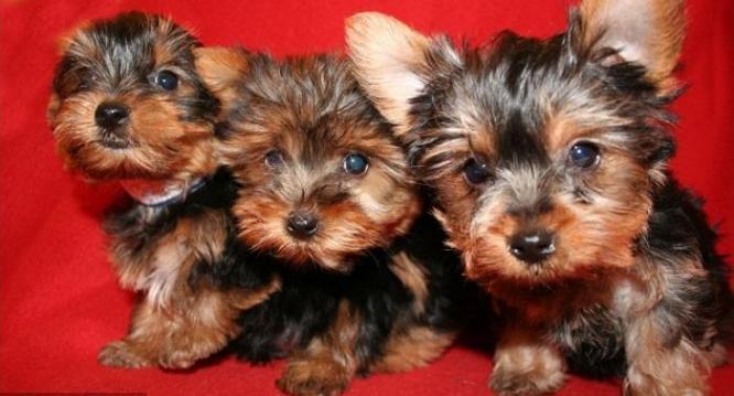 Cute Miniature Yorkies