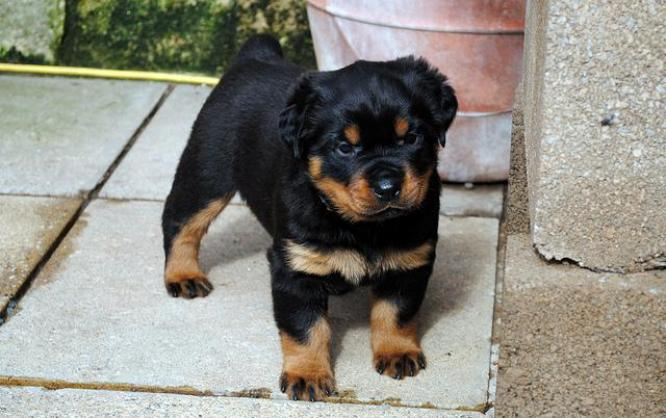 Purebred Rottweilers puppies for sale