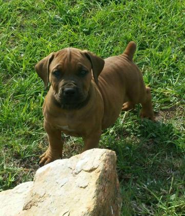 Gorgeous boerboel puppies for sale by registered breeder (Offer of lifetime)!!! in Port Elizabeth, Eastern Cape