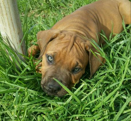 Gorgeous boerboel puppies for sale by registered breeder (Offer of lifetime)!!!