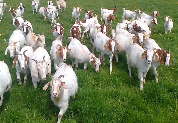 kalahari red goats and boer goats