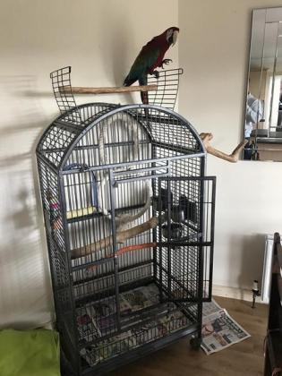 Macaw parrot Greenwing female in Pretoria North, Gauteng
