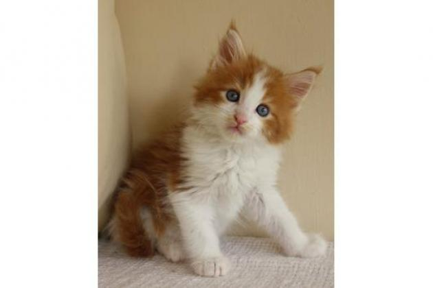 MAINE COON CAT MALE AND FEMALE