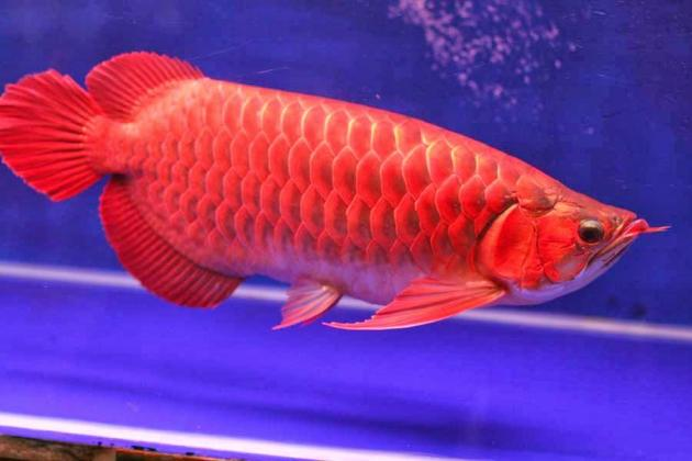 Quality Arowanas available in stock