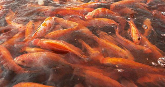 Red talapia for sale. Rooi kurpers fingerlinge