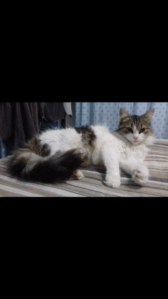 Looking for male breed maine coon or tom cat urgently in Durban, KwaZulu-Natal