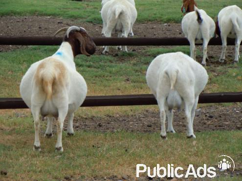 Healthy And Strong Boer Goats Dorper Sheep Merino S Sheep