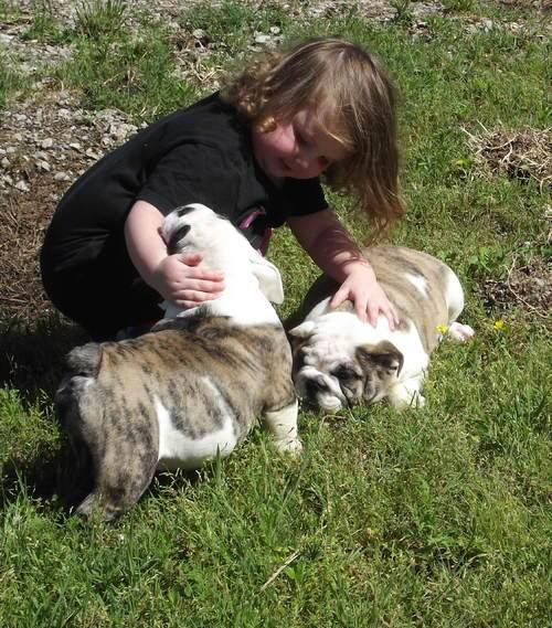 Healthy Miniature English Bulldog Puppies | Johannesburg