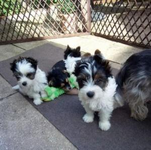 Absolutely Healthy Biewer Terriers Puppies