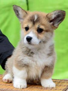super cute Welsh corgi puppies
