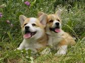 Beautiful Sweet Corgi Puppies
