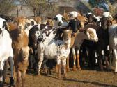 boer goats and damara sheep