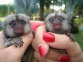 Finger marmoset and <font class=