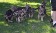 Impressive Working Line German Shepherd puppies