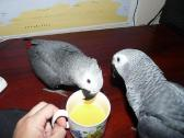 months old African grey,