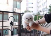 Playful Warm & Precious White POM! **Sparkle** Is Nothing But Spectacular!