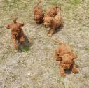 red cockapoo's puppies