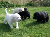 Retriever Puppies-homes More Important Than Price!