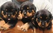 rottweiler Puppy's For Sale