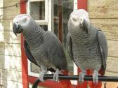 Talking African Grey Parrots Available