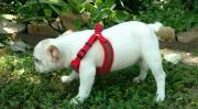 white french bulldog puppy