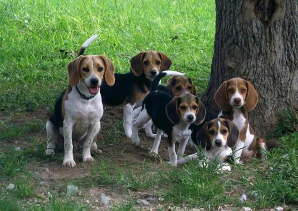 Adorable Beagle puppies @ R 3000 Each in Middelburg-Mpumalanga, Mpumalanga