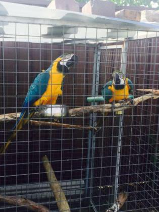 2 male Blue and Gold Macaws looking for new home