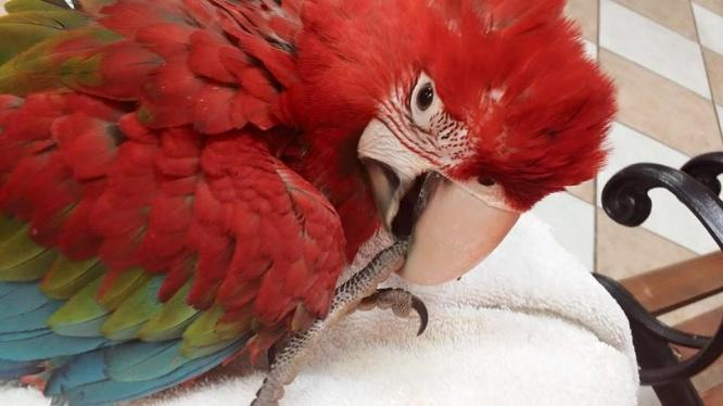 Very Tame Baby Greenwing Macaw