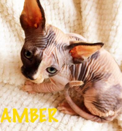 7 Adorable Pure Sphynx Skin Babies Ready Now