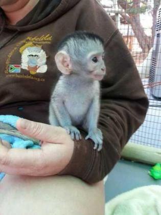 Very sweet baby Pygmy marmoset & Capuchin Monkeys are on the bottle,