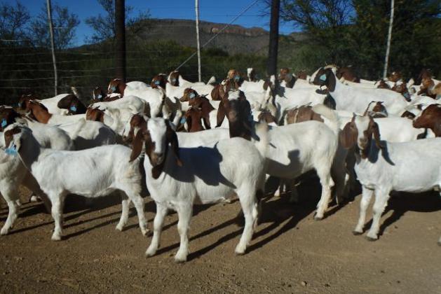 Boer Goats, Live Sheep, Cattle, Lambs and Cows in Pietermaritzburg, KwaZulu-Natal