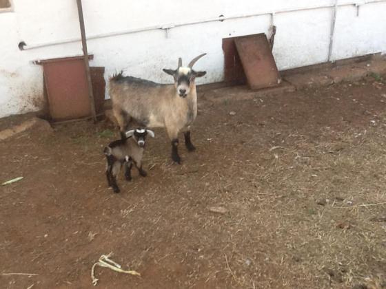 cameron dwarf goat in Krugersdorp, Gauteng