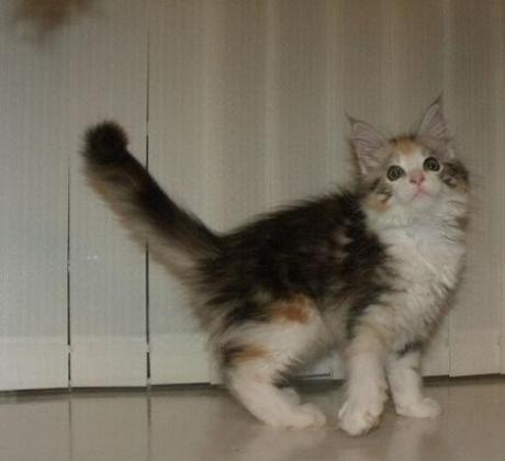 Cute Main Coon kittens
