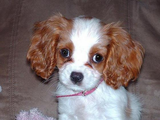 Cavalier King Charles Spaniel puppies.