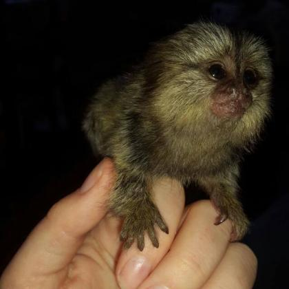 both Capuchin monkeys and marmoset for new homes