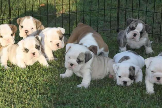 English Bulldogs Puppies For Sale in South Africa in Cape Town, Western Cape