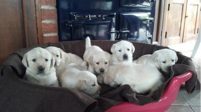 Goldadoors Puppies