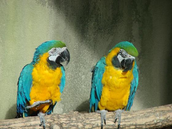 Health tasted Pair of Gold and Blue Macaw Parrots by name Romeo and Nancy