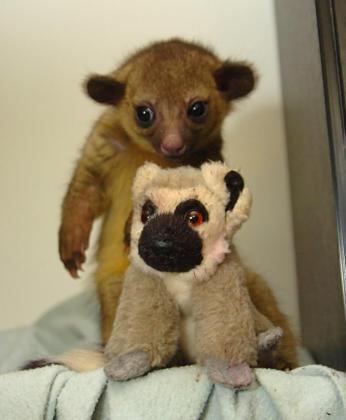 Loving Kinkajou Baby Monkeys