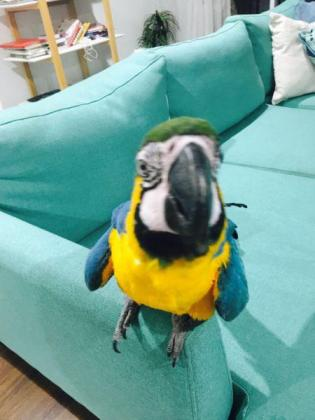 Macaw. Blue and Gold for sale.